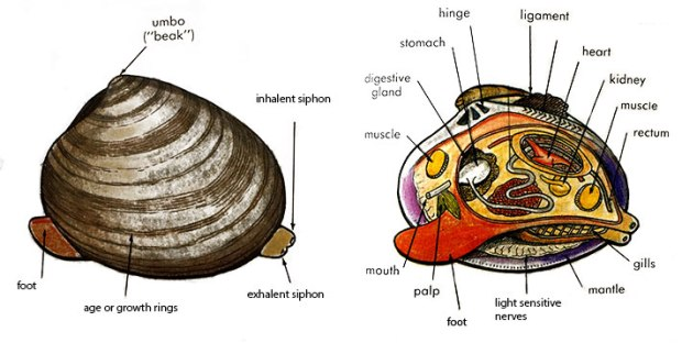 Clam_Diagram